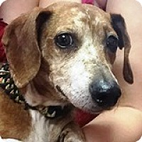 Dachshund Mix Dog for adoption in Houston, Texas - Lyle Lovage