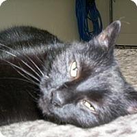 Adopt A Pet :: Shadow - New York, NY