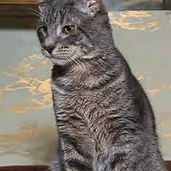 Photo 4 - Domestic Shorthair Cat for adoption in Westville, Indiana - Chester