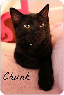 Domestic Shorthair Cat for adoption in McKinney, Texas - Chunk