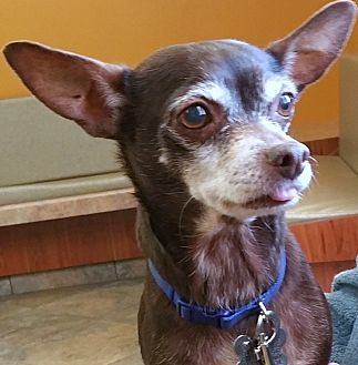 Toy Fox Terrier/Chihuahua Mix Dog for adoption in Phoenix, Arizona - Rusty