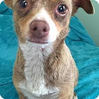 Adopt A Pet :: Suzy Q - Costa Mesa, CA