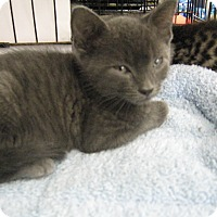 Russian Blue Kitten for adoption in New york, New York - russian Blue kitten and a sibl