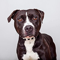 American Staffordshire Terrier Mix Dog for adoption in Mission Hills, California - Huck