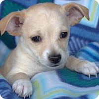 Adopt A Pet :: Cheeto's pup Pringles - Tucson, AZ