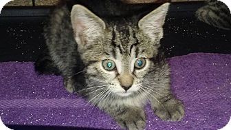 Domestic Shorthair Kitten for adoption in New Smyrna Beach, Florida - Pinky