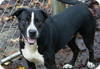 Labrador Retriever/Terrier (Unknown Type, Medium) Mix Dog for adoption in Reidsville, North Carolina - Booker