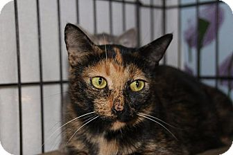 Domestic Shorthair Cat for adoption in Ann Arbor, Michigan - Clariee