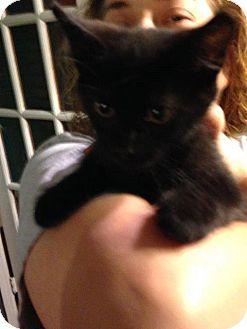 Domestic Shorthair Kitten for adoption in Aurora, Colorado - Binx