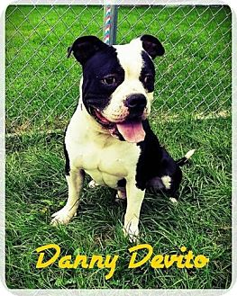 American Bulldog Mix Dog for adoption in Plainfield, Illinois - Danny
