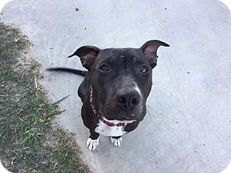 Pit Bull Terrier Mix Dog for adoption in Weatherford, Texas - Jackie