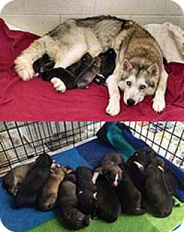 Husky Mix Puppy for adoption in Chantilly, Virginia - Angel Pup 11