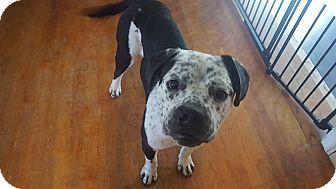 Boxer/Bulldog Mix Dog for adoption in Maryville, Illinois - Roman