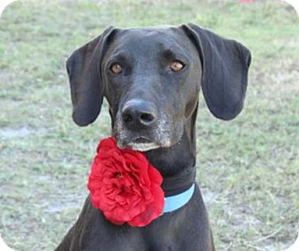 Labrador Retriever/Great Dane Mix Dog for adoption in Loxahatchee, Florida - Trinity