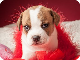 Pug/Beagle Mix Puppy for adoption in Dallas, Texas - Venus