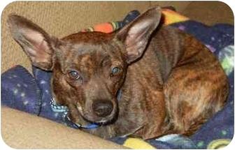 Joey Adopted Dog Houston Tx French Bulldog Corgi Mix