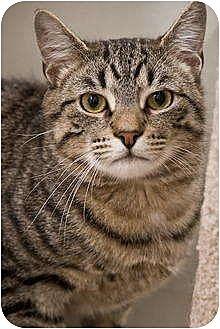 Domestic Mediumhair Cat for adoption in Beacon, New York - Christian