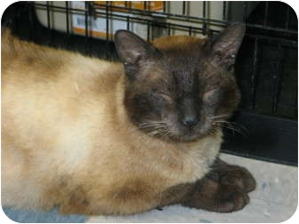 Siamese Cat for adoption in West Dundee, Illinois - Sammy