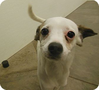 Whippet Mix Dog for adoption in Phoenix, Arizona - Kiefer