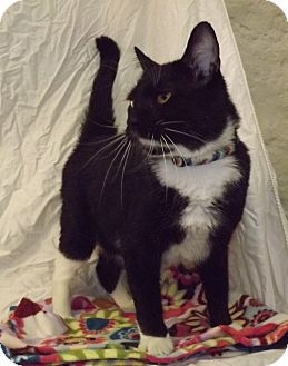 Domestic Shorthair Cat for adoption in Fort Riley, Kansas - Socks