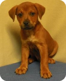Retriever (Unknown Type)/Labrador Retriever Mix Puppy for adoption in Gary, Indiana - Dillon