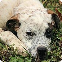 Adopt A Pet :: Ivy - Staunton, VA