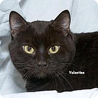 Adopt A Pet :: Valentino - Sacramento, CA