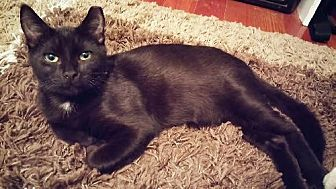 Domestic Shorthair Kitten for adoption in Miami, Florida - Salem