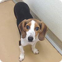 Adopt A Pet :: Samson - Dumfries, VA