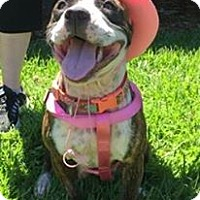 Pit Bull Terrier Mix Dog for adoption in Lake Charles, Louisiana - Noodle
