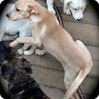 Adopt A Pet :: Nicole - Ijamsville, MD