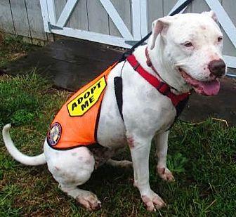 American Pit Bull Terrier Dog for adoption in Fredericksburg, Virginia - Maisy- Courtesy listing