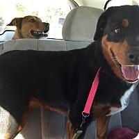 Adopt A Pet :: Rotwella - Phoenix, AZ