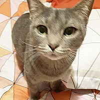 Domestic Shorthair Cat for adoption in Arlington/Ft Worth, Texas - Ellie