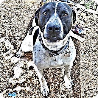 Pointer/Hound (Unknown Type) Mix Dog for adoption in Cherry Hill, New Jersey - Dave