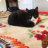 Adopt A Pet :: Sylvester - Courtesy Listing - Sparta, NJ