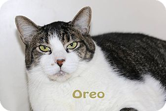 Domestic Shorthair Cat for adoption in Idaho Falls, Idaho - Oreo