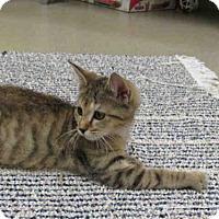 Domestic Shorthair Kitten for adoption in Vero Beach, Florida - TAFFY