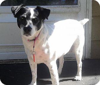 Rat Terrier Dog for adoption in Mankato, Minnesota - River