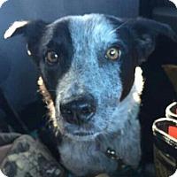 Adopt A Pet :: Dreamer - House Springs, MO