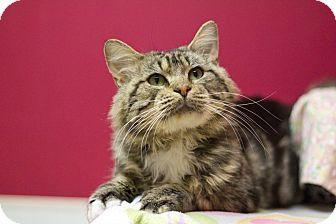 Domestic Shorthair Cat for adoption in Grayslake, Illinois - Guapo