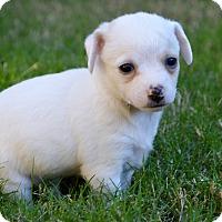 Adopt A Pet :: Tulip - Aubrey, TX