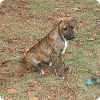 Black Mouth Cur/Labrador Retriever Mix Puppy for adoption in Albany, New York - Tabitha