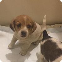 Adopt A Pet :: Shasta - Charlotte, NC