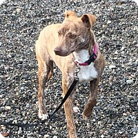 Adopt A Pet :: LANA (Auburn) Does your dog need a friend? - Bainbridge Island, WA
