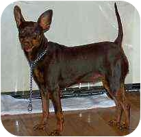 Miniature Pinscher Dog for adoption in Florissant, Missouri - Ruby