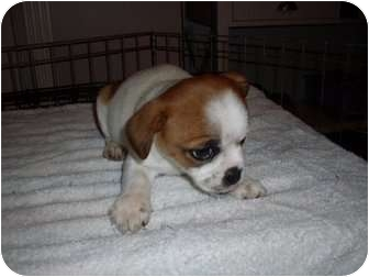 english bulldog chihuahua mix dixie adopted puppy adopted rochester nh english 3777