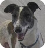 Greyhound Dog for adoption in Swanzey, New Hampshire - Jasper