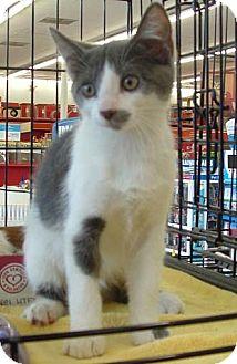 Domestic Shorthair Kitten for adoption in Merrifield, Virginia - Twinkle Toes