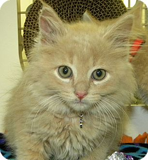 Domestic Longhair Kitten for adoption in Green Bay, Wisconsin - Fallon